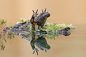 Fire-bellied Toad in defensive posture - Germany