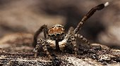 Male Peacock Spider lifting a leg during mating display ; A male spider signalling with 3rd leg to a female , start of the mating display.
