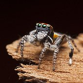 Male Peacock Spider on black background - Australia  ; after his final moult -