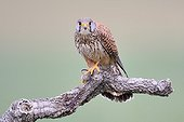 Common Kestrel with prey on a branch - Spain