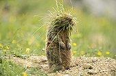 Marmot with tufts of grass - Tyrol Austria