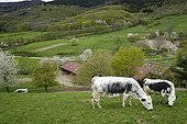 Vosges Cows and Cherry blossoms - Vosges France ; Lindgrube farm in organic agriculture