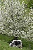 Vosges Cow and Cherry blossoms - Vosges France ; Lindgrube farm in organic agriculture