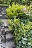 Male fern and yellow corydalis on side garden stair