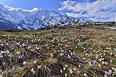 Crocus flowering on the plateau du Truc - Alpes France  ; Mont Blanc - Contamines area - Cottages Miage