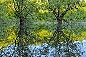 Reflet sur le lac de Bret à l'aube - Bugey  France ; Lac temporaire, colonisé par des saules et des aulnes, biotope peuplé de très nombreuses rainettes