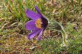 Pasque flower in bloom on alkaline grassland, Oise, France