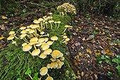 Sulphur Tuft undergrowth - Valromey Jura France