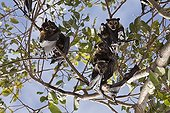 Spectacled Flying Fox on branches - Queensland Australia