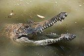 Portrait de Crocodile d'eau douce - Queensland Australie