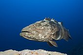 Malabar Grouper on reef - Great Barrier Reef Australia