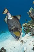 Titan Triggerfish on reef - Great Barrier Reef Australia