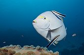 Elongate Surgeonfish cleaned by Cleaner Wrasse - Australia