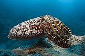 Broadclub Cuttlefish - Great Barrier Reef  Australia