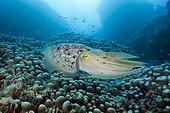 Broadclub Cuttlefish on reef - Great Barrier Reef  Australia