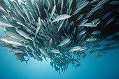Shoal of Bigeye Trevally - Great Barrier Reef Australia