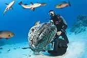 Scuba Diver and Potato Cod - Great Barrier Reef Australia ; Cod Hole Fish feeding