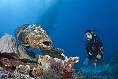 Scuba Diver and Flowery Grouper - Great Barrier Reef