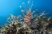 Red Lionfish over Reef - Great Barrier Reef Australia