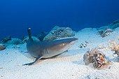 Whitetip Reef Shark on sand - Great Barrier Reef Australia