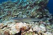 Whitetip Reef Shark on reef - Great Barrier Reef Australia
