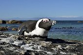 Jackass Penguin lying on rock - False Bay South Africa