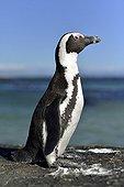 Jackass Penguin on rock - False Bay South Africa