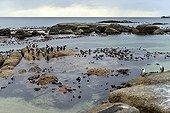 Jackass Penguins on rocky coast - False Bay South Africa