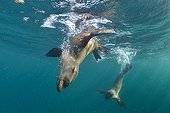 Cape fur seals playing in the water - South Africa