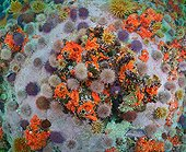Sea Anemones and Sea urchins - False Bay South Africa