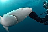 Diver and Blue Shark - South Africa  ; Diver stroking Lorenzini bulbs on the muzzle of a blue shark
