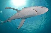 Blue shark - Cape of Good Hope South Africa