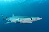 Blue shark - Cape of Good Hope South Africa