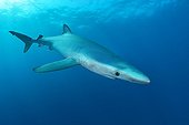 Blue shark and diver - Cape of Good Hope South Africa