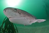 Bluntnose Sevengil Shark in a forest of kelp - South Africa