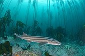 Striped Catshark in a forest of kelp - South Africa