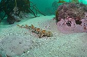 Puffadder Shyshark on sandy bottom - South Africa