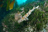 Puffadder Shyshark in Kelp forest - South Africa