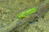 Dragonfly larva in a pond - Prairie du Fouzon France