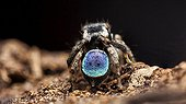 Male Peacock Spider showing his colorful abdomen - Australia ; A small 3-4mm Peacock Jumping Spider (Maratus anomalus ) male. Front on macro shot showing the spiders face-head-eyes. The eyes are a mirror like green.