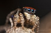 Male Peacock Jumping Spider - Australia ; Shot from side front showing spiders face/head and beautifully coloured eyes.