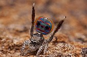 Male peacock spider showing his colorful abdomen - Australia ; performing mating dance to a female spider. 3rd legs are raised in the air and rear flap on abdomen is opened and raised. Showing the brilliant patterns and colours.