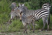Burchell's Zebras and young - Serengeti Tanzania
