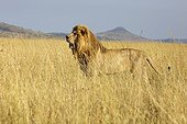 Male Lion in savanna - Serengeti Tanzania