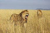 Male Lions in savanna - Serengeti Tanzania