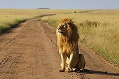 Lion male sitting on a track - Serengeti Tanzania