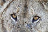 Regard de Lion mâle - Serengeti Tanzanie