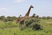 Girafes mangeant dans la savane - Serengeti Tanzanie