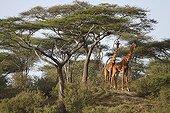 Girafes au milieu des Acacias - Serengeti Tanzanie