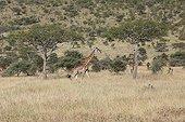 Girafe marchant dans la savane - Serengeti Tanzanie